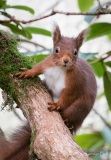 Red squirrel in its winter coat