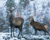 Deer in Glen Affirc, Scotland