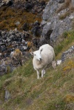 Sheep by Kyle of Durness