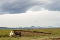 Icelandic horses on the road to Gullfoss, Iceland