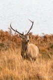 Red deer in Glen Cannich, Scotland