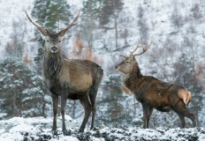 Red deer in Glen Affric, Scotland
