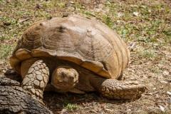 Tortoise in the botanic gardens, Funchal, Madeira