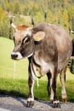 Milk cow in the Val di Funes, Dolomites, Italy