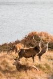 Red deer in Glen Cannich, Scotland