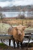 Highland cow in Glen Urquart, Scotland