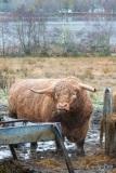 Highland bull in Glen Urquart, Scotland