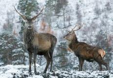 Red deer in Glen Affric, Scotland