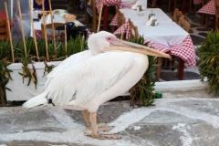 Tame pelican in Myconos Chora, Greece