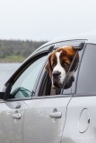 St Bernard dog in car, Nova Scotia, Canada