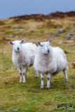 Sheep on Raasay, Scotland