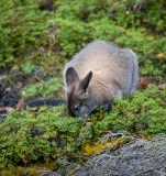 Wallaby at Lake Dobson