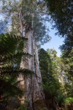 Styx Forest, Tasmania