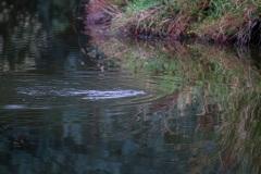 Swimming duck-billed platypus