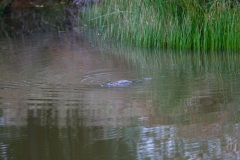 Swimming duck-billed platypus