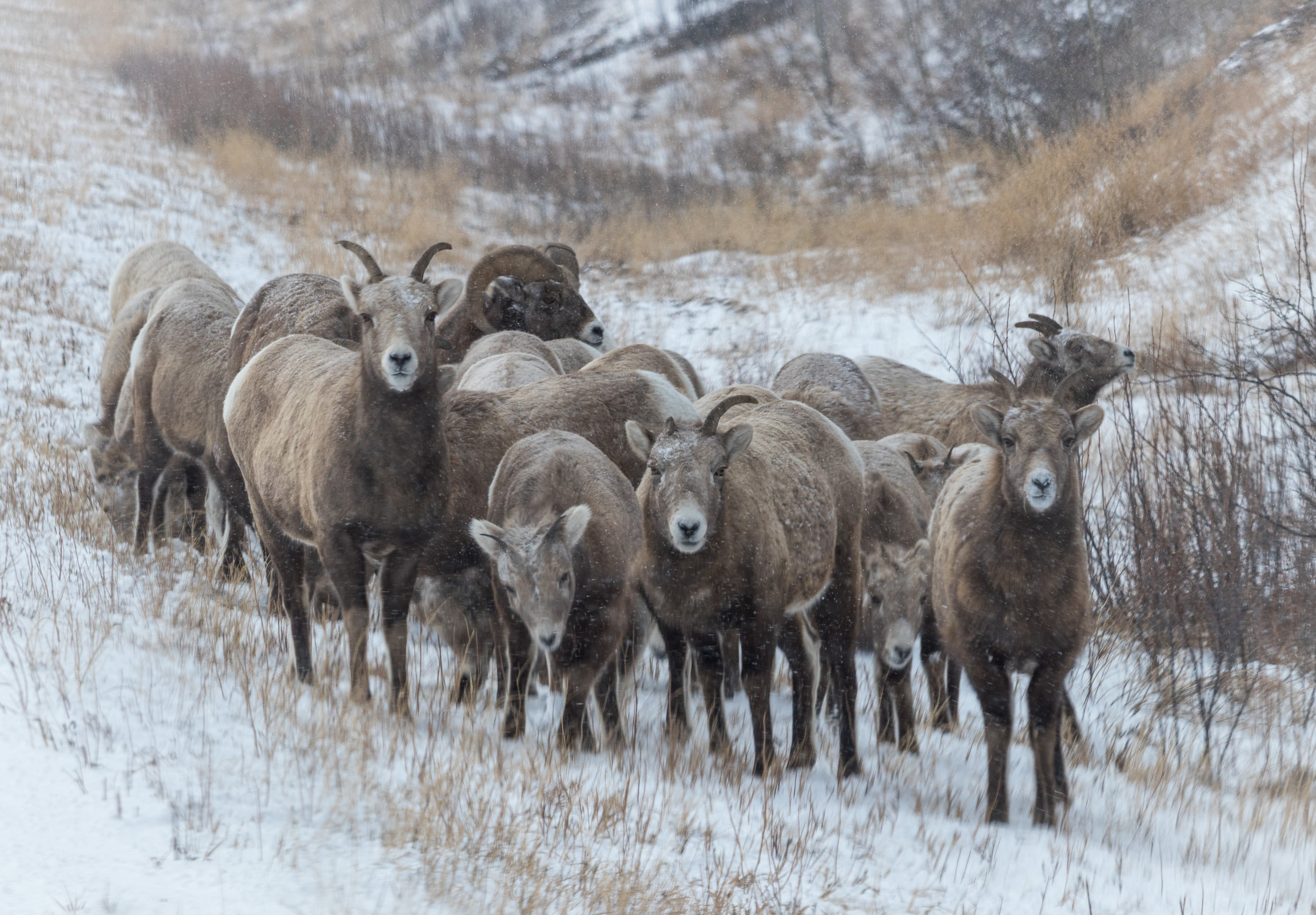 A huddle of bighorns, Canada
