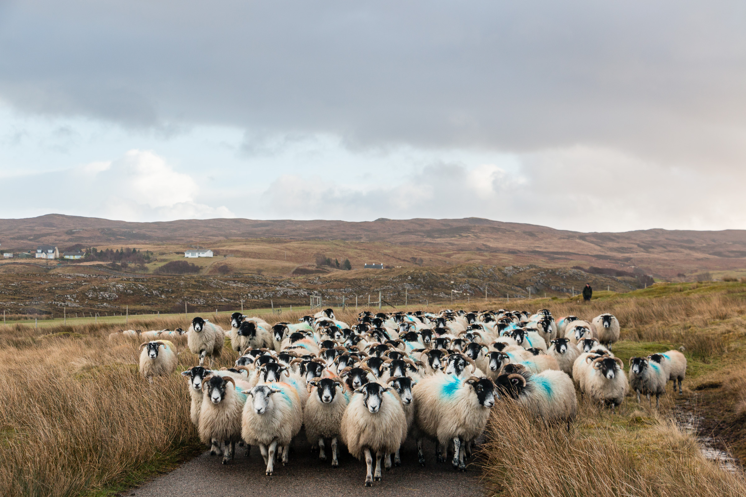 Sheep on the road, Ardnamurchan, Scotland