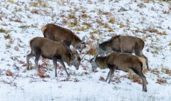 A quarrelsome quartet of red deer, Assynt, Scotland