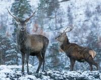 Deer in Glen Affirc, Scotland