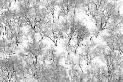 Birch trees near Hekla, Iceland