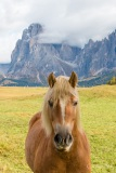 A horse on the Alpe di Suisi