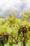 A grape vine near Tiso, Val di Funes