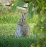 One of the many rabbits in Durness